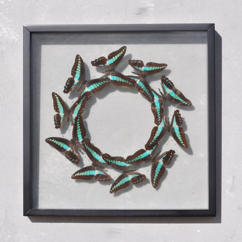 Framed Blue Butterflies Circle - Entomology Specimens