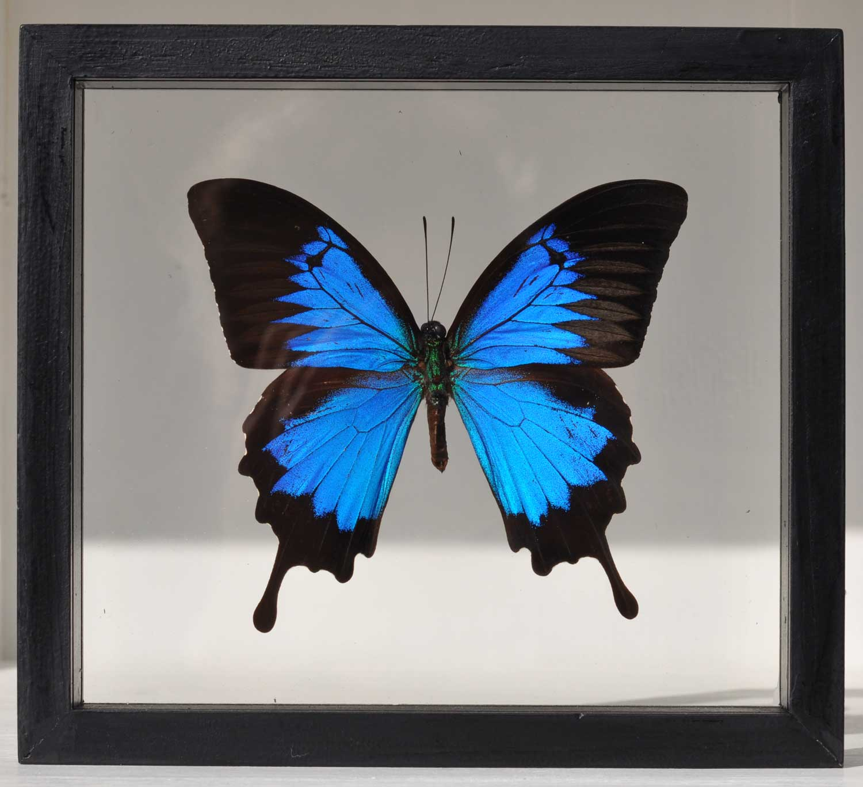 Framed Real Butterfly Entomology Specimen 6 Options