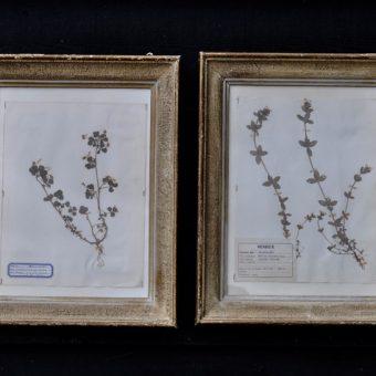 Antique framed botanical specimen herbarium dated 1963 | Home Barn