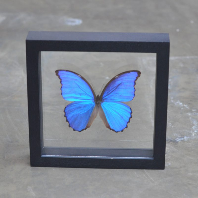framed blue butterfly | entomology specimen