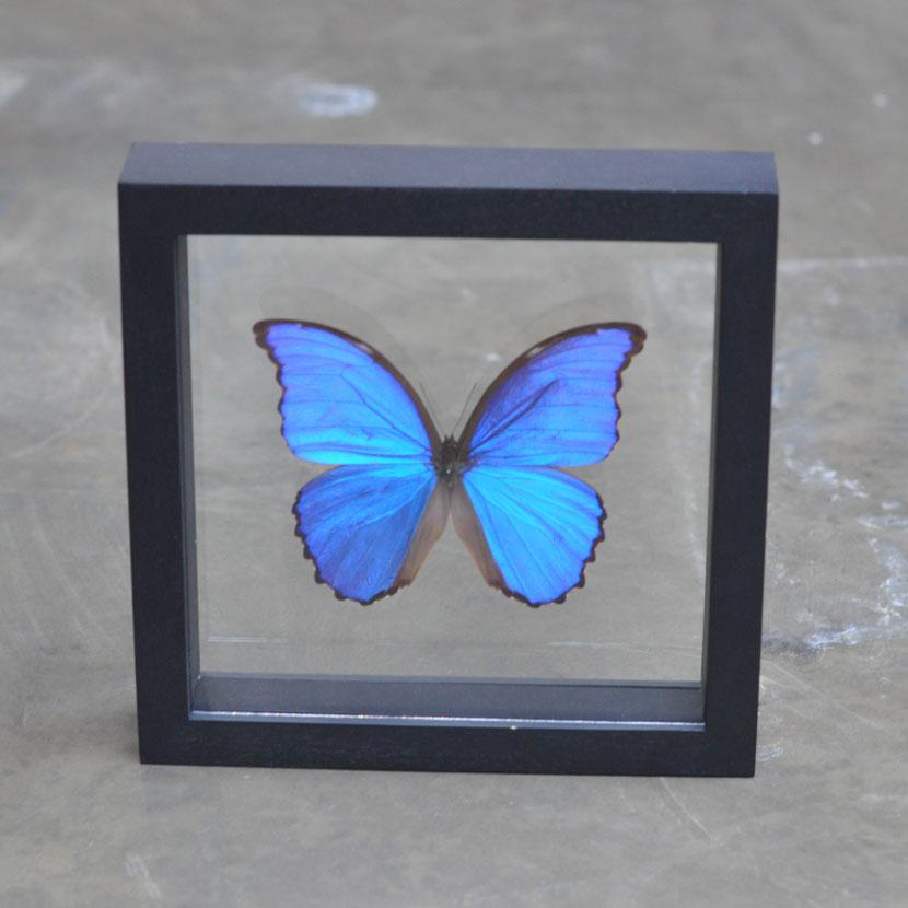 framed blue butterfly | entomology specimen