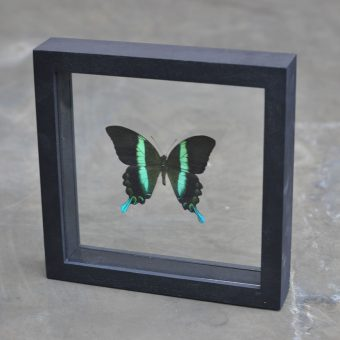 framed green butterfly | entomology specimen