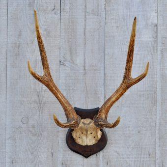 red deer antlers on wooden shield