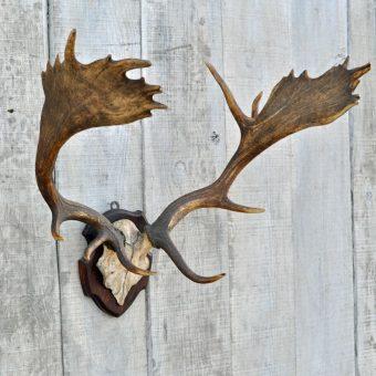 vintage fallow deer antlers on shield