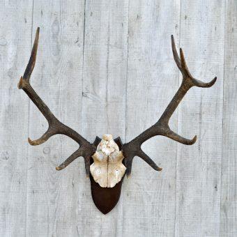 vintage red deer antlers on shield