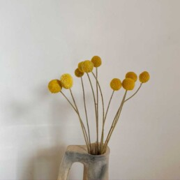 Dried Flower Billy Button | Craspedia