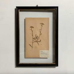 FRAMED BOTANICAL | VINTAGE PRESSED FLOWER ARTWORK No: 12