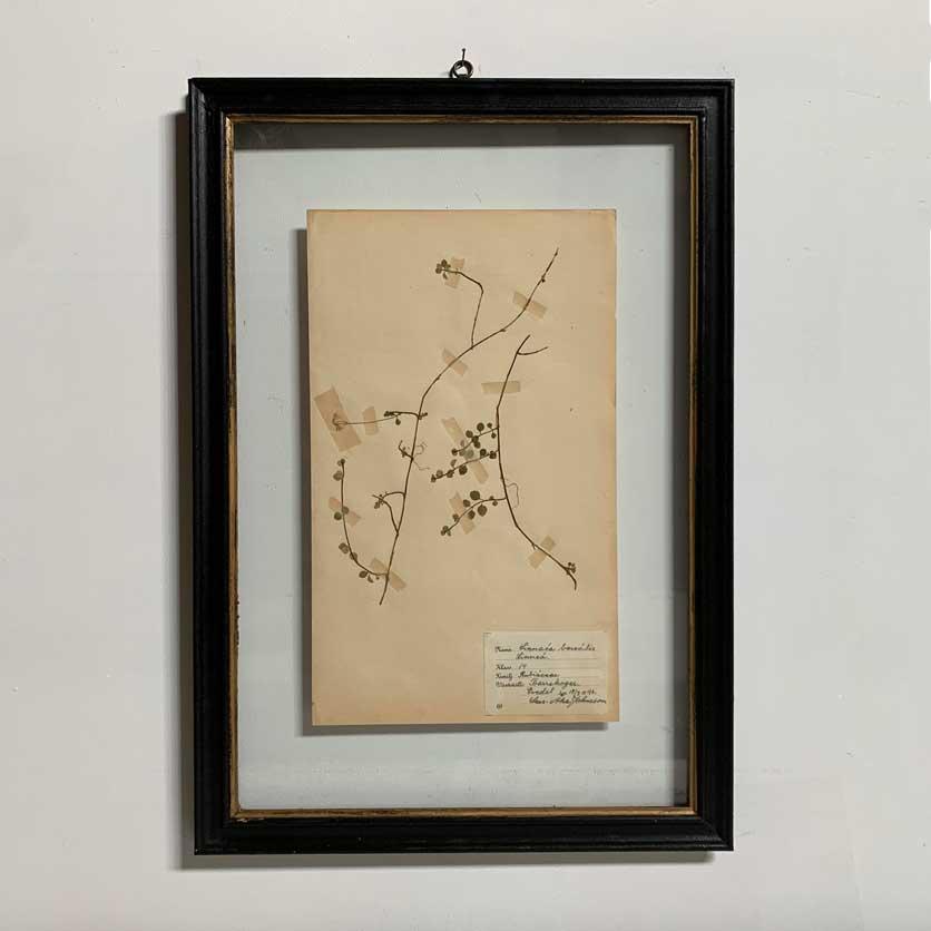 FRAMED BOTANICAL | VINTAGE PRESSED FLOWER ARTWORK No: 13