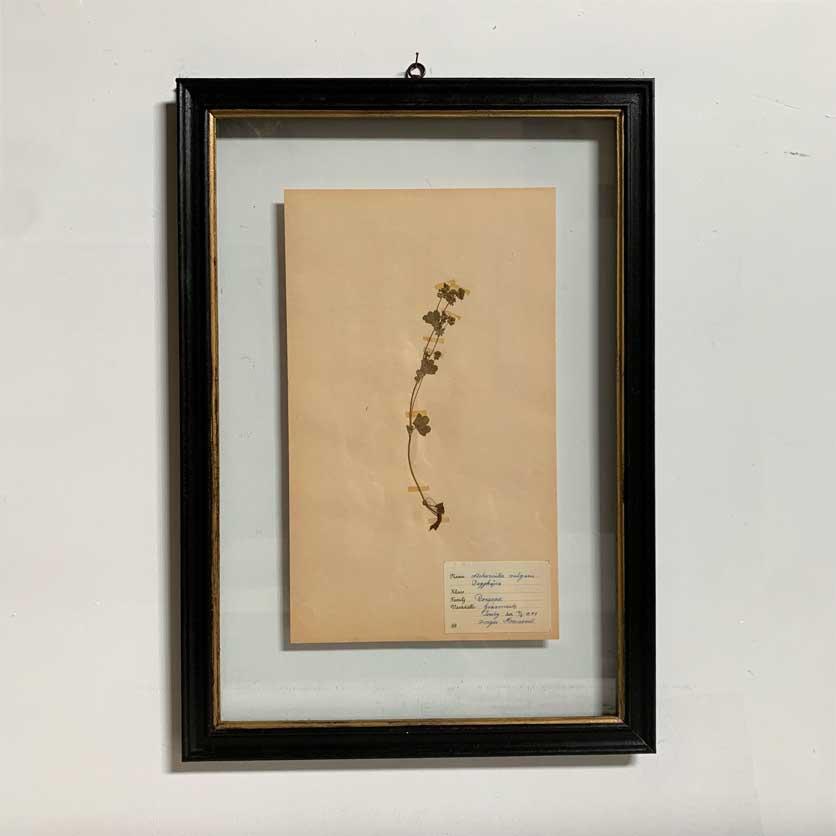 FRAMED BOTANICAL   VINTAGE PRESSED FLOWER ARTWORK No: 14
