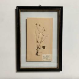 FRAMED BOTANICAL | VINTAGE PRESSED FLOWER ARTWORK No: 15