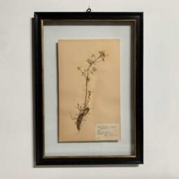 FRAMED BOTANICAL | VINTAGE PRESSED FLOWER ARTWORK No: 17