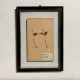 FRAMED BOTANICAL | VINTAGE PRESSED FLOWER ARTWORK No: 18