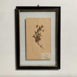 FRAMED BOTANICAL | VINTAGE PRESSED FLOWER ARTWORK No: 19