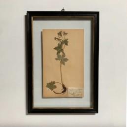 FRAMED BOTANICAL | VINTAGE PRESSED FLOWER ARTWORK No: 20