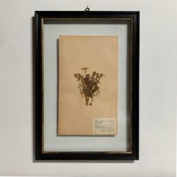 FRAMED BOTANICAL | VINTAGE PRESSED FLOWER ARTWORK No: 8