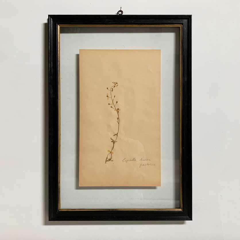 FRAMED BOTANICAL   VINTAGE PRESSED FLOWER ARTWORK No: 1